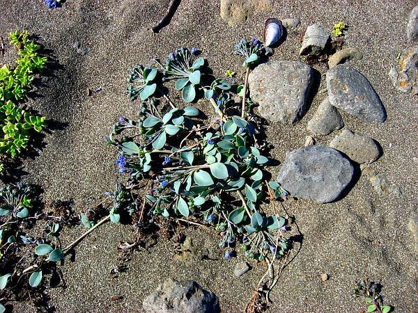 Oysterleaf (Mertensia Maritima) https://www.sagebud.com/oysterleaf-mertensia-maritima