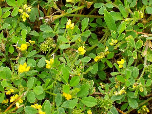 Little Bur-Clover (Medicago Minima) https://www.sagebud.com/little-bur-clover-medicago-minima