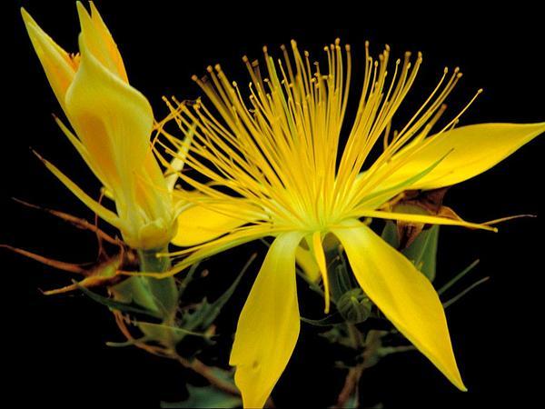 Adonis Blazingstar (Mentzelia Multiflora) https://www.sagebud.com/adonis-blazingstar-mentzelia-multiflora