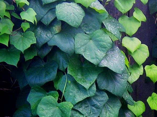 Moonseed (Menispermum) https://www.sagebud.com/moonseed-menispermum/