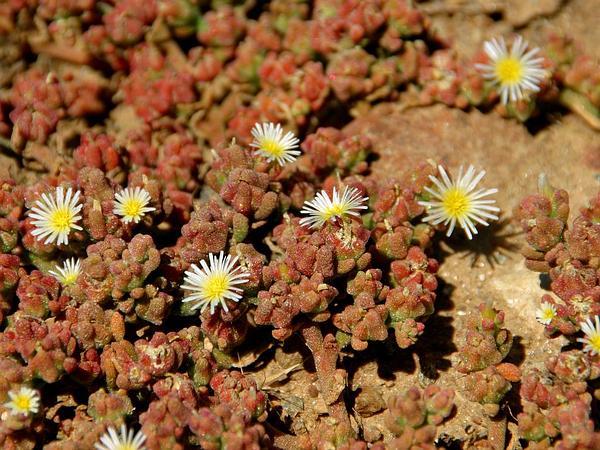 Slenderleaf Iceplant (Mesembryanthemum Nodiflorum) https://www.sagebud.com/slenderleaf-iceplant-mesembryanthemum-nodiflorum