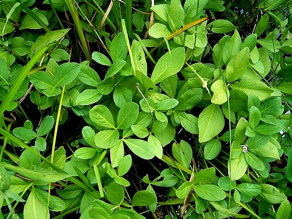 Buckbean (Menyanthes) https://www.sagebud.com/buckbean-menyanthes