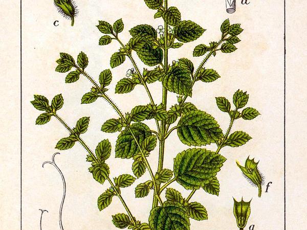 Common Balm (Melissa Officinalis) https://www.sagebud.com/common-balm-melissa-officinalis