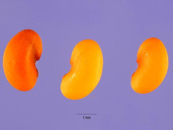 Burclover (Medicago Polymorpha) https://www.sagebud.com/burclover-medicago-polymorpha