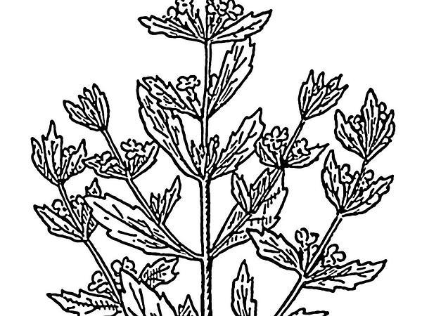Pennyroyal (Mentha Pulegium) https://www.sagebud.com/pennyroyal-mentha-pulegium