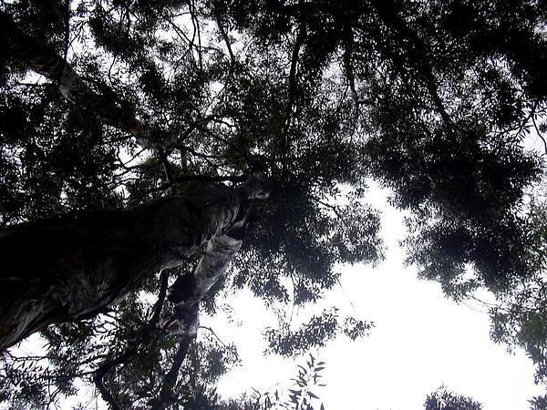 Punktree (Melaleuca Quinquenervia) https://www.sagebud.com/punktree-melaleuca-quinquenervia