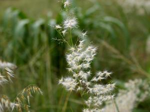 Rose Natal Grass