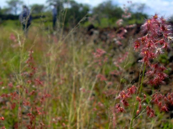 Rose Natal Grass (Melinis Repens) https://www.sagebud.com/rose-natal-grass-melinis-repens