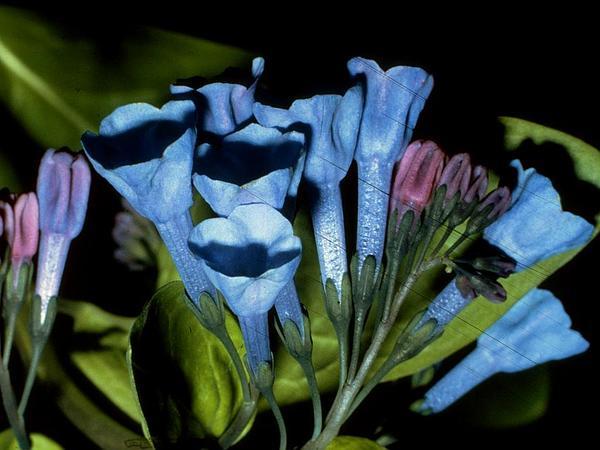 Bluebells (Mertensia) https://www.sagebud.com/bluebells-mertensia