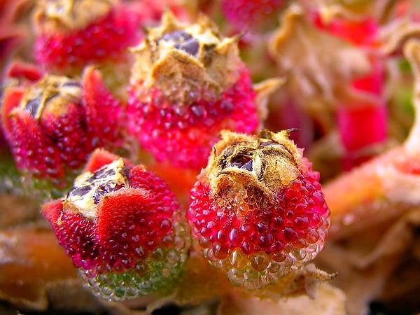Iceplant (Mesembryanthemum) https://www.sagebud.com/iceplant-mesembryanthemum/