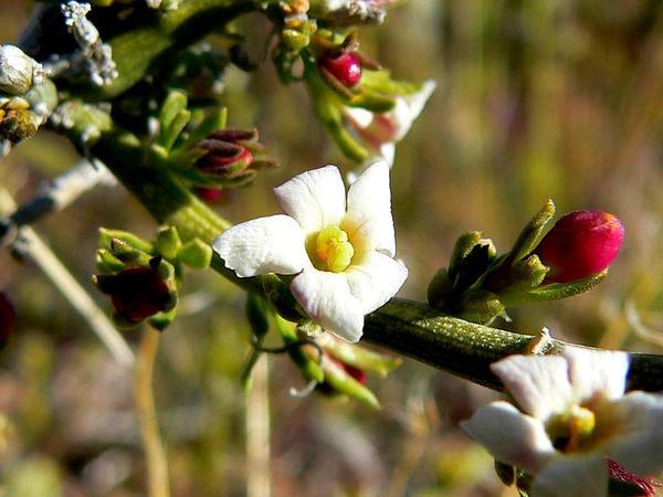 Spiny Menodora (Menodora Spinescens) https://www.sagebud.com/spiny-menodora-menodora-spinescens