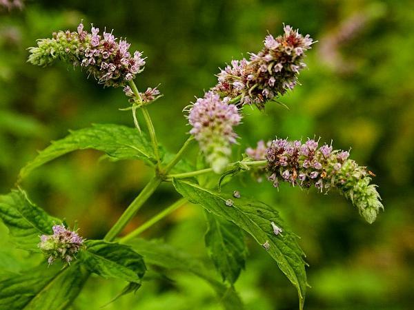 Spearmint (Mentha Spicata) https://www.sagebud.com/spearmint-mentha-spicata
