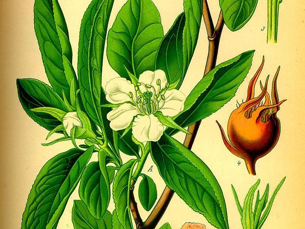 Mespilus (Mespilus) https://www.sagebud.com/mespilus-mespilus/