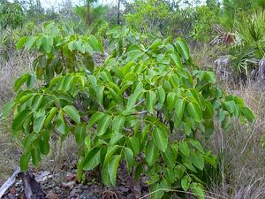 Florida Poisontree