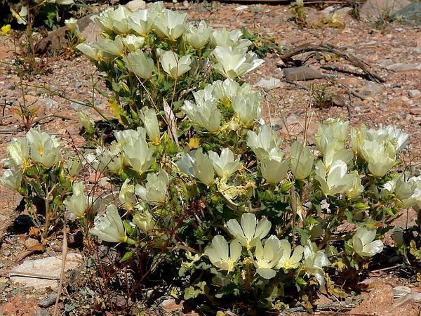 Spinyhair Blazingstar (Mentzelia Tricuspis) https://www.sagebud.com/spinyhair-blazingstar-mentzelia-tricuspis
