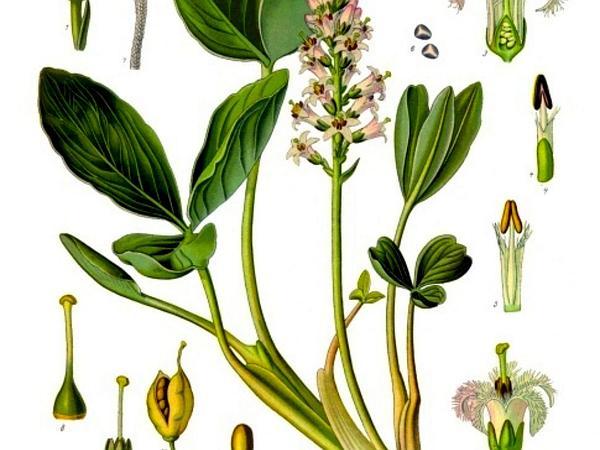 Buckbean (Menyanthes Trifoliata) https://www.sagebud.com/buckbean-menyanthes-trifoliata/
