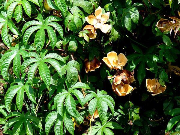 Spanish Arborvine (Merremia Tuberosa) https://www.sagebud.com/spanish-arborvine-merremia-tuberosa