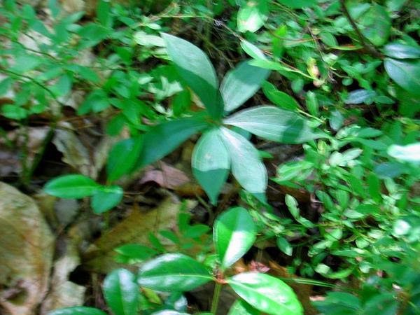 Indian Cucumber (Medeola Virginiana) https://www.sagebud.com/indian-cucumber-medeola-virginiana