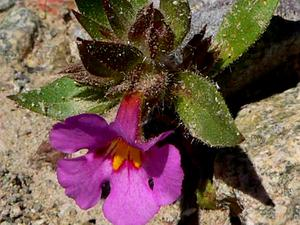 Bigelow's Monkeyflower