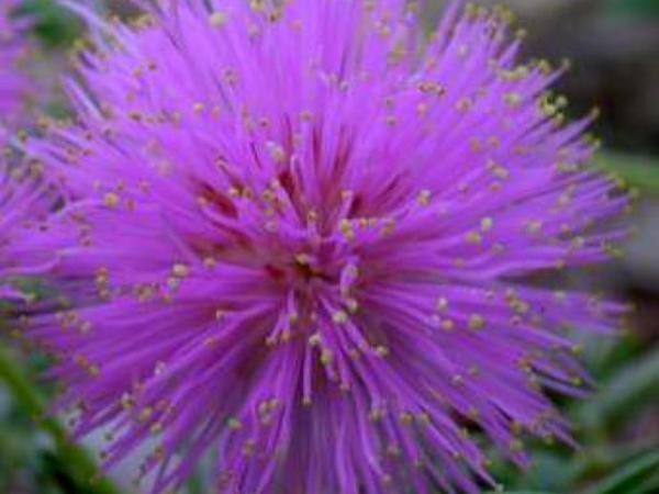 Fragrant Mimosa (Mimosa Borealis) https://www.sagebud.com/fragrant-mimosa-mimosa-borealis