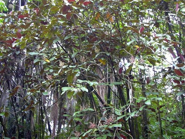 Velvet Tree (Miconia Calvescens) https://www.sagebud.com/velvet-tree-miconia-calvescens