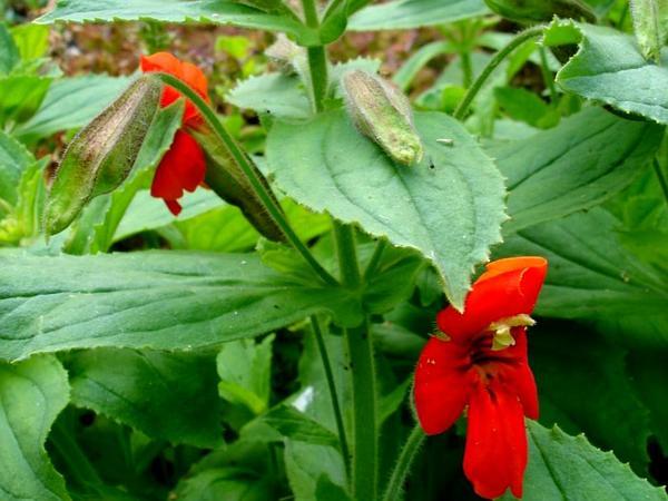 Scarlet Monkeyflower (Mimulus Cardinalis) https://www.sagebud.com/scarlet-monkeyflower-mimulus-cardinalis