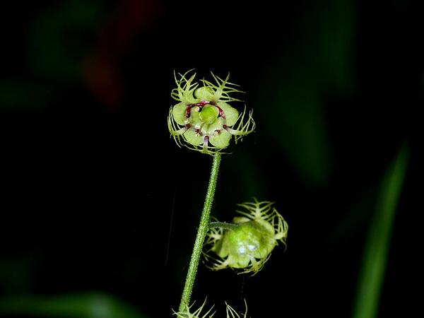 Slightstemmed Miterwort (Mitella Caulescens) https://www.sagebud.com/slightstemmed-miterwort-mitella-caulescens