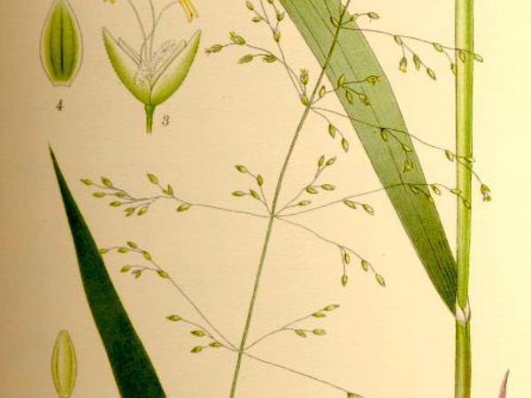 American Milletgrass (Milium Effusum) https://www.sagebud.com/american-milletgrass-milium-effusum/