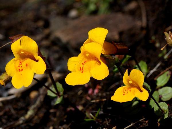 Seep Monkeyflower (Mimulus Guttatus) https://www.sagebud.com/seep-monkeyflower-mimulus-guttatus