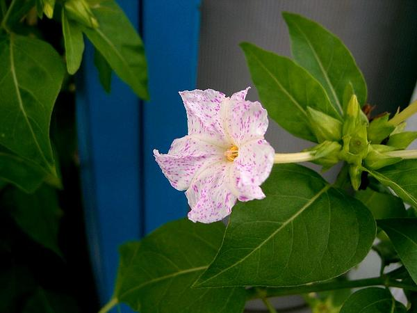 Marvel Of Peru (Mirabilis Jalapa) https://www.sagebud.com/marvel-of-peru-mirabilis-jalapa