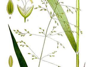 Milletgrass