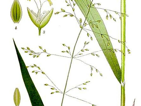 Milletgrass (Milium) https://www.sagebud.com/milletgrass-milium