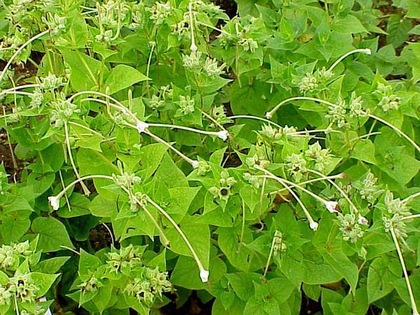 Sweet Four O'Clock (Mirabilis Longiflora) https://www.sagebud.com/sweet-four-oclock-mirabilis-longiflora