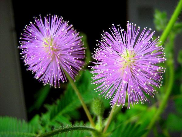 Sensitive Plant (Mimosa) https://www.sagebud.com/sensitive-plant-mimosa