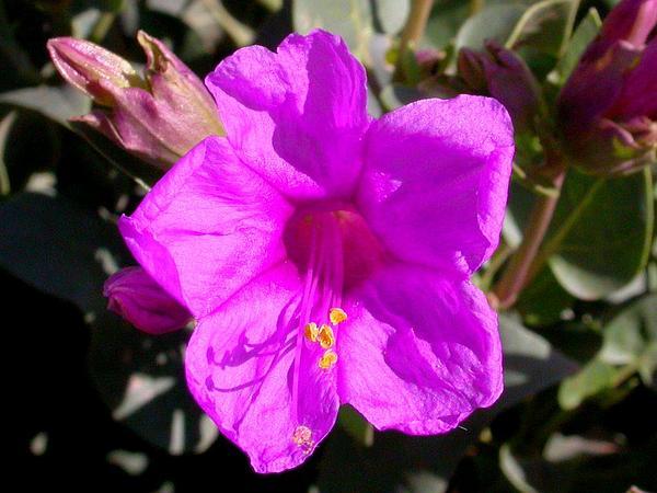 Colorado Four O'Clock (Mirabilis Multiflora) https://www.sagebud.com/colorado-four-oclock-mirabilis-multiflora/