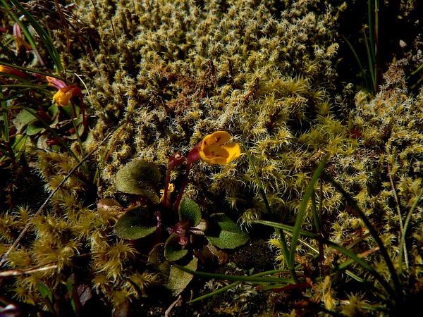 Monkeyflower (Mimulus) https://www.sagebud.com/monkeyflower-mimulus
