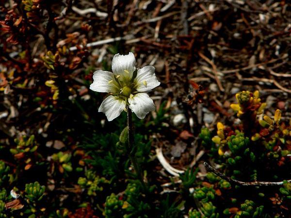 Twinflower Sandwort (Minuartia Obtusiloba) https://www.sagebud.com/twinflower-sandwort-minuartia-obtusiloba/