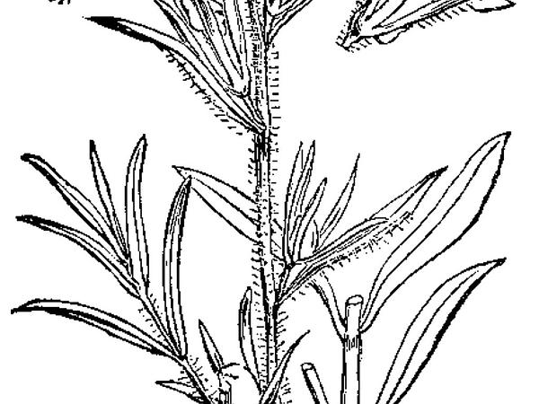 Linearleaf Snapdragon (Misopates Orontium) https://www.sagebud.com/linearleaf-snapdragon-misopates-orontium