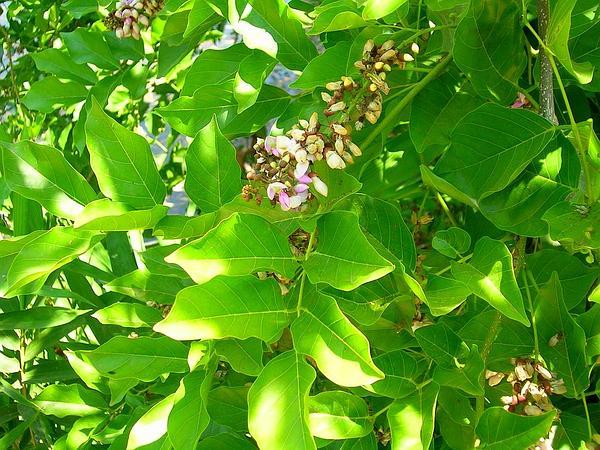 Pongame Oiltree (Millettia Pinnata) https://www.sagebud.com/pongame-oiltree-millettia-pinnata/