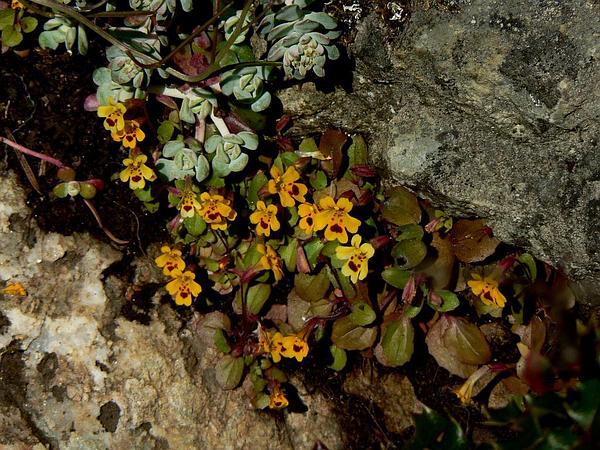 Primrose Monkeyflower (Mimulus Primuloides) https://www.sagebud.com/primrose-monkeyflower-mimulus-primuloides/