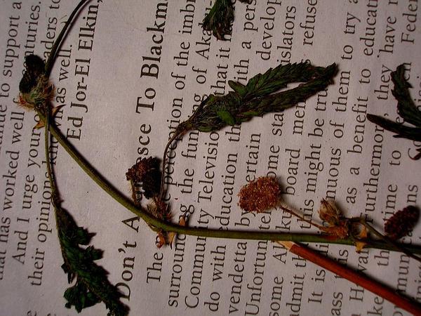 Shameplant (Mimosa Pudica) https://www.sagebud.com/shameplant-mimosa-pudica