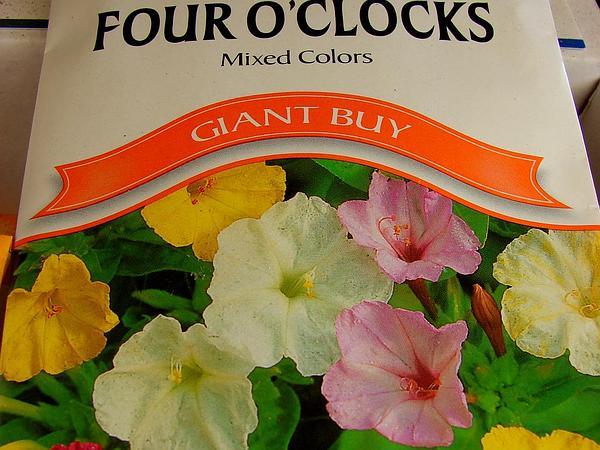 Four O'Clock (Mirabilis) https://www.sagebud.com/four-oclock-mirabilis