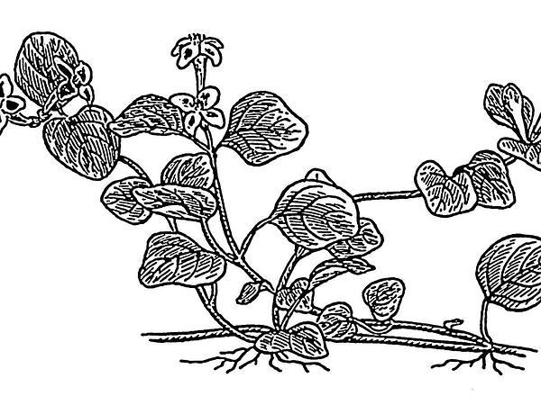 Partridgeberry (Mitchella Repens) https://www.sagebud.com/partridgeberry-mitchella-repens