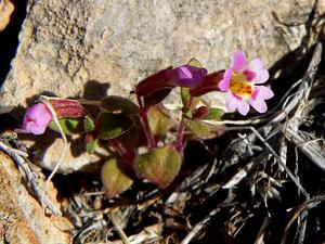 Little Redstem Monkeyflower
