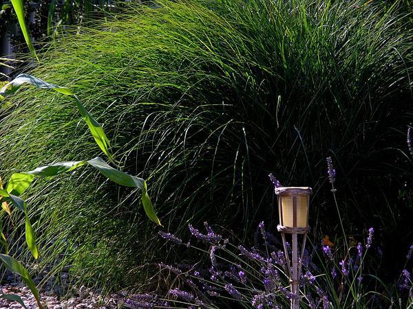 Silvergrass (Miscanthus) https://www.sagebud.com/silvergrass-miscanthus/
