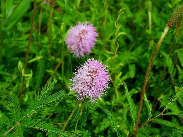 Powderpuff (Mimosa Strigillosa) https://www.sagebud.com/powderpuff-mimosa-strigillosa