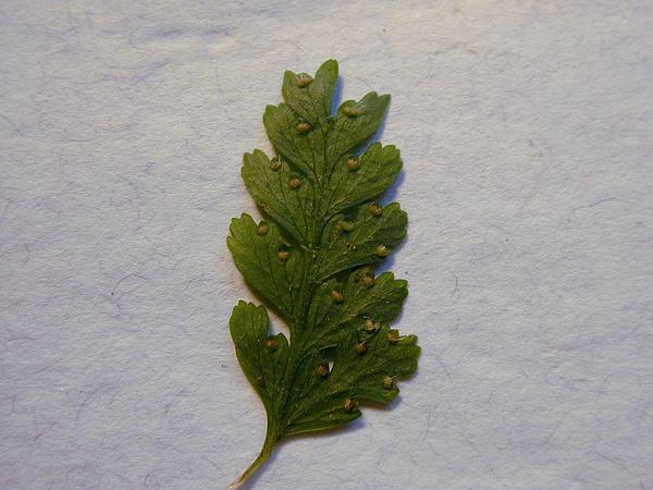 Palapalai (Microlepia Strigosa) https://www.sagebud.com/palapalai-microlepia-strigosa