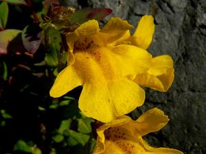 Tiling's Monkeyflower