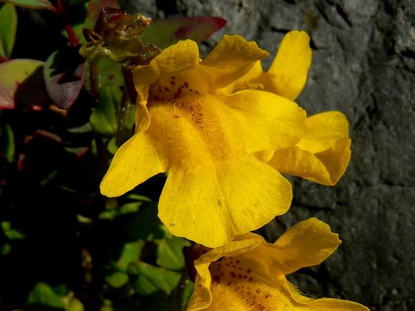 Tiling's Monkeyflower (Mimulus Tilingii) https://www.sagebud.com/tilings-monkeyflower-mimulus-tilingii