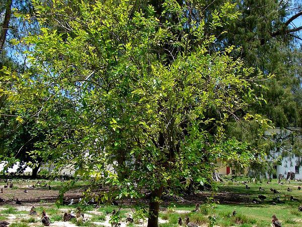 White Mulberry (Morus Alba) https://www.sagebud.com/white-mulberry-morus-alba/